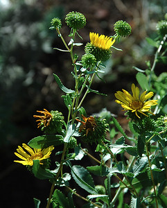 Grindelia squarrosa (curly-top gumweed or curly-cup gumweed) is a small biennial or short-lived perennial plant which grows to a height of 90 cm (3 ft) and bears yellow flowers from June to September. It was discovered by Lewis and Clark and before that it had been used by Great Plains Tribes as a medicinal herb. It frequently grows in disturbed areas along trails and gravel roads