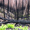 After the firestorm.  Most of the trees seem dead, but the ferns have survived.  Even some of the trees will regrow.  Mt Hotham, Victoria