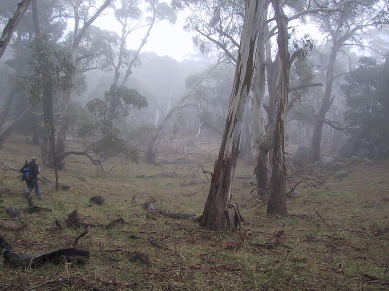 Open eucalypt forest.  Mt Alexander, Victoria