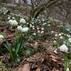 Märzenbecherblüte