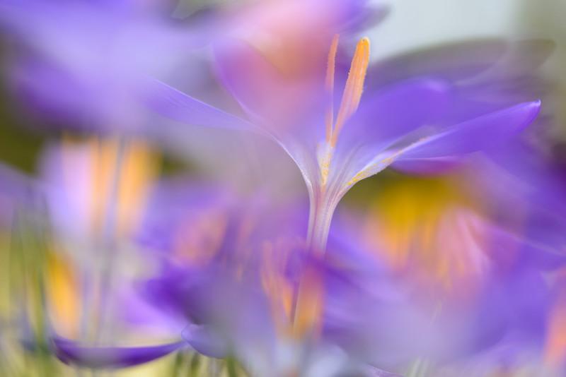Crocus flowers II