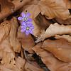 Leberblümchen, (Hepatica nobilis), Frühblüher, Leberblümchen, Deutschland