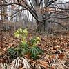 Stinkende Nieswurz, Helleborus foetidus, Buchenwald, Schwäbische Alb, Deutschland