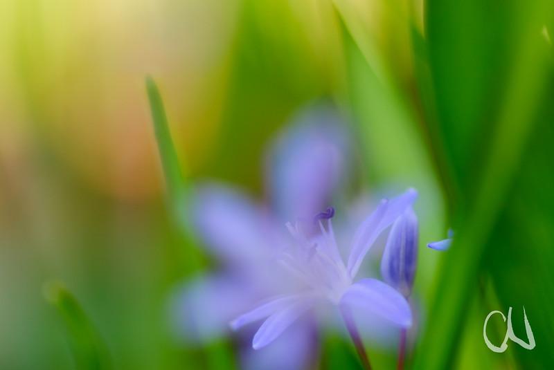 Zweiblättriger Blaustern, Scilla bifolia, Frühblüher, Frühling, Körschtal, Stuttgart - Möhringen, Baden-Württemberg, Deutschland