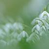 Schneeglöckchen, Snowdrop, Galanthus spec., Ehrenbachtal bei Tübingen, Deutschland, Germany
