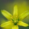 Wald-Gelbstern, Gagea lutea, auch Gewöhnlicher Gelbstern oder Wald-Goldstern genannt, Naturschutzgebiet Listhof, Reutlingen, Deutschland