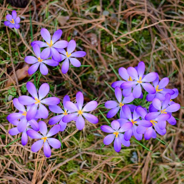 Krokusblüten, (Crocus spec.), Botanischer Garten, Tübingen, Baden-Württemberg, Deutschland