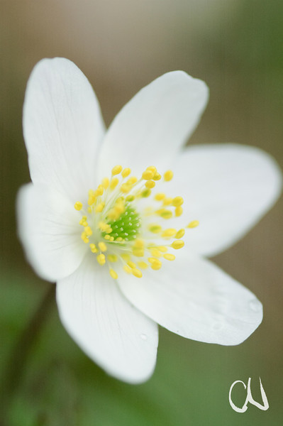 Buschwindröschen, Frühblüher, Blüte, Frühling