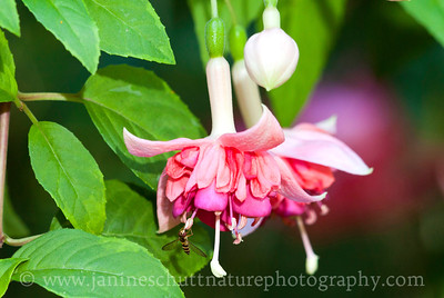 Celebration trailing fuchsia.