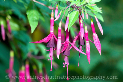 Zulu King trailing fuchsia.