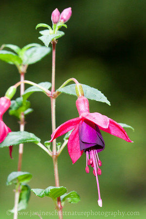 Midnight upright fuchsia.