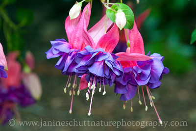 Lisa trailing fuchsia.