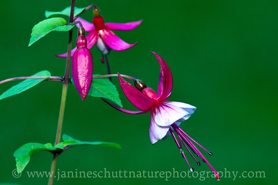 Juicy Tidbits (European Upright) fuchsia.