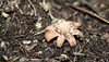 Earthstar (Geastrum sp.), Lakeview Mountains, 14 Feb 2008