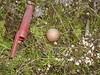 Puffball (Lycoperdon sp.), Lakeview Mountains, 13 Nov 2004