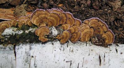 unidentified shelf fungus, Leominster State Forest, Massachusetts, 7 Aug 2007