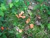 Hygrocybe miniata, Leominster State Forest, Massachusetts, 7 Aug 2007
