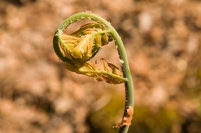 Osmunda regalis var. spectabilis - Royal fern.