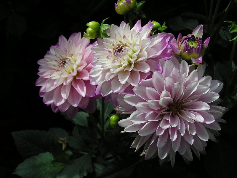 Dahlias: First Prize 2006 CT Audubon Society Photo Contest