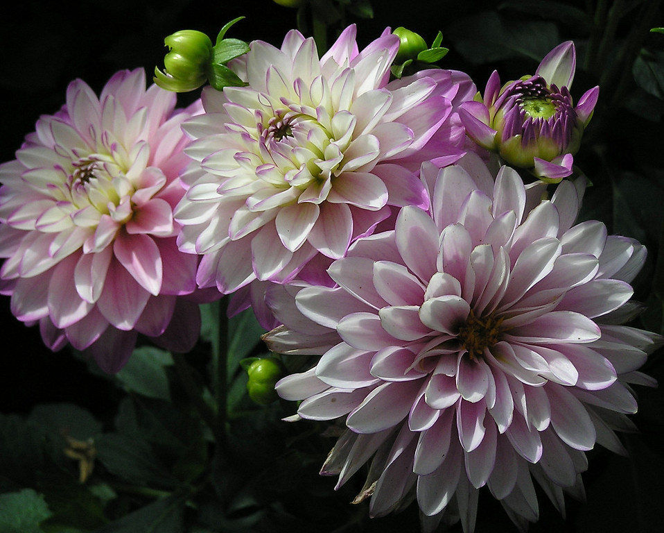 Dahlias: First Prize 2006 CT Audubon Society Photo Contest - for 8x10 prints