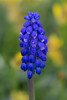 A Grape Hyacinth (Muscari neglectum) flowers in spring in a garden in Glastonbury