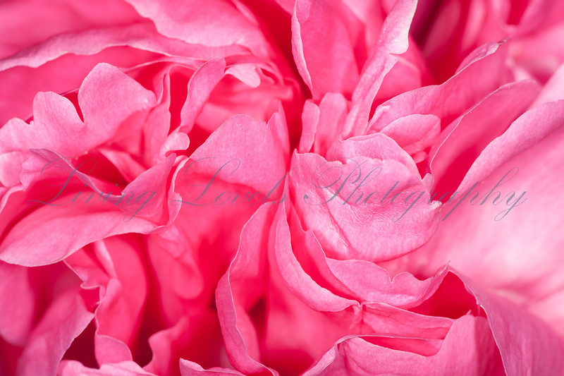 Close up photo of rose petals.  This rose has a complex double flower structure with many folds.
