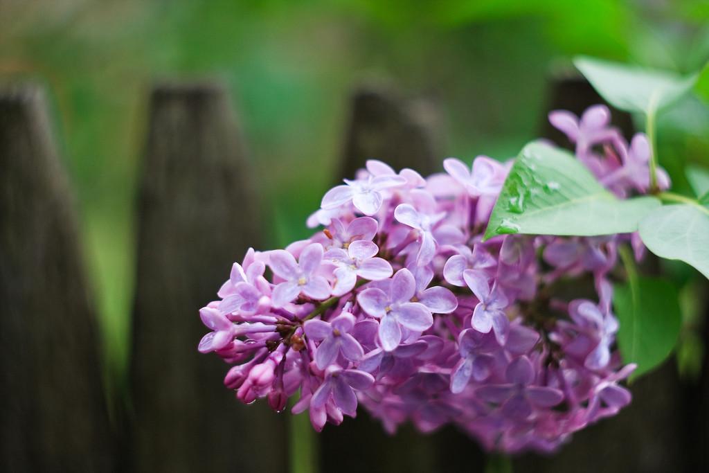 lilacs, fence