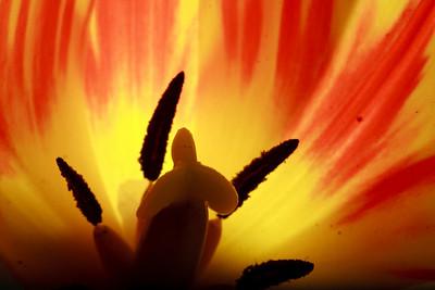 tulip: inside