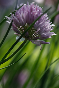 A chive flower