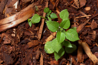 A small green plant pushes its way up through the soil.