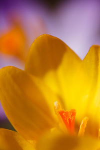 A yellow crocus, and a purple crocus behind it.