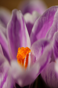 Variegated crocus