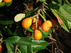Loquats (Eriobotrya japonica), 28 May 2006