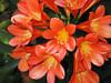 Bush Lily (Clivia miniata), 25 Mar 2007