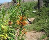 Lion's Ear (Leonotis leonurus), 20 Aug 2005