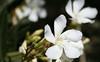 Oleander (Nerium oleander), 16 Aug 2008