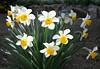 Narcissus (Narcissus pseudonarcissus), 15 Mar 2008
