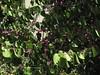 "Western Redbud (Cercis occidentalis) ""Kwahosha Aheen,"" Rancho Santa Ana Botanic Gardens, Claremont, CA 02 Jul 2005"