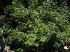 "Currant (Ribes voburnifolium) ""Kochar,"" Rancho Santa Ana Botanic Gardens, Claremont, CA 02 Jul 2005"