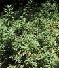 "Mugwort (Artemisia douglassiana) ""Kwiaish,"" Rancho Santa Ana Botanic Gardens, Claremont, CA 02 Jul 2005"