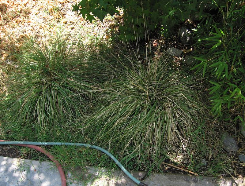"Deer Grass (Muhlenbergbia rigens) ""Su-ul,"" private garden, Claremont, CA 02 Jul 2005"