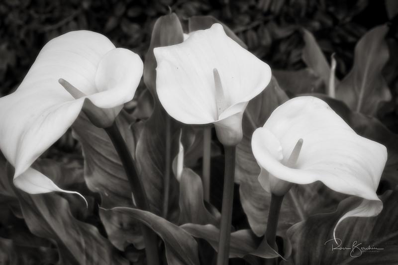 Calla Lily (Calla palustris)