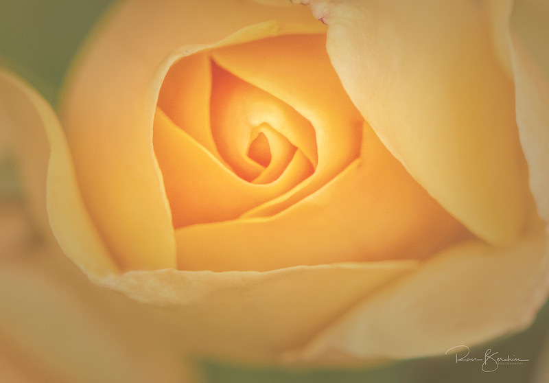 Glorious Rose