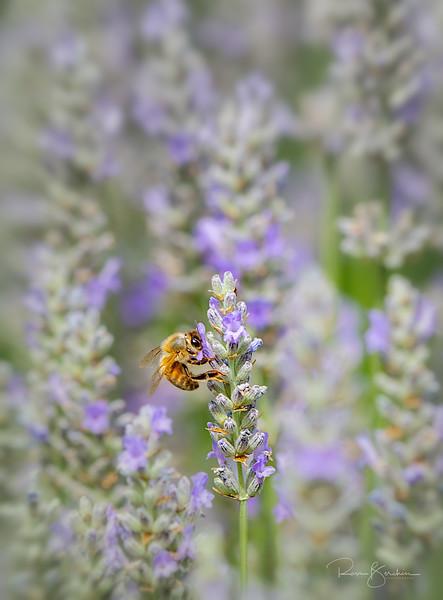 Honey Bee on Lavander