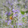 Honey Bee on Lavander