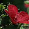 Scarlet Rosemallow