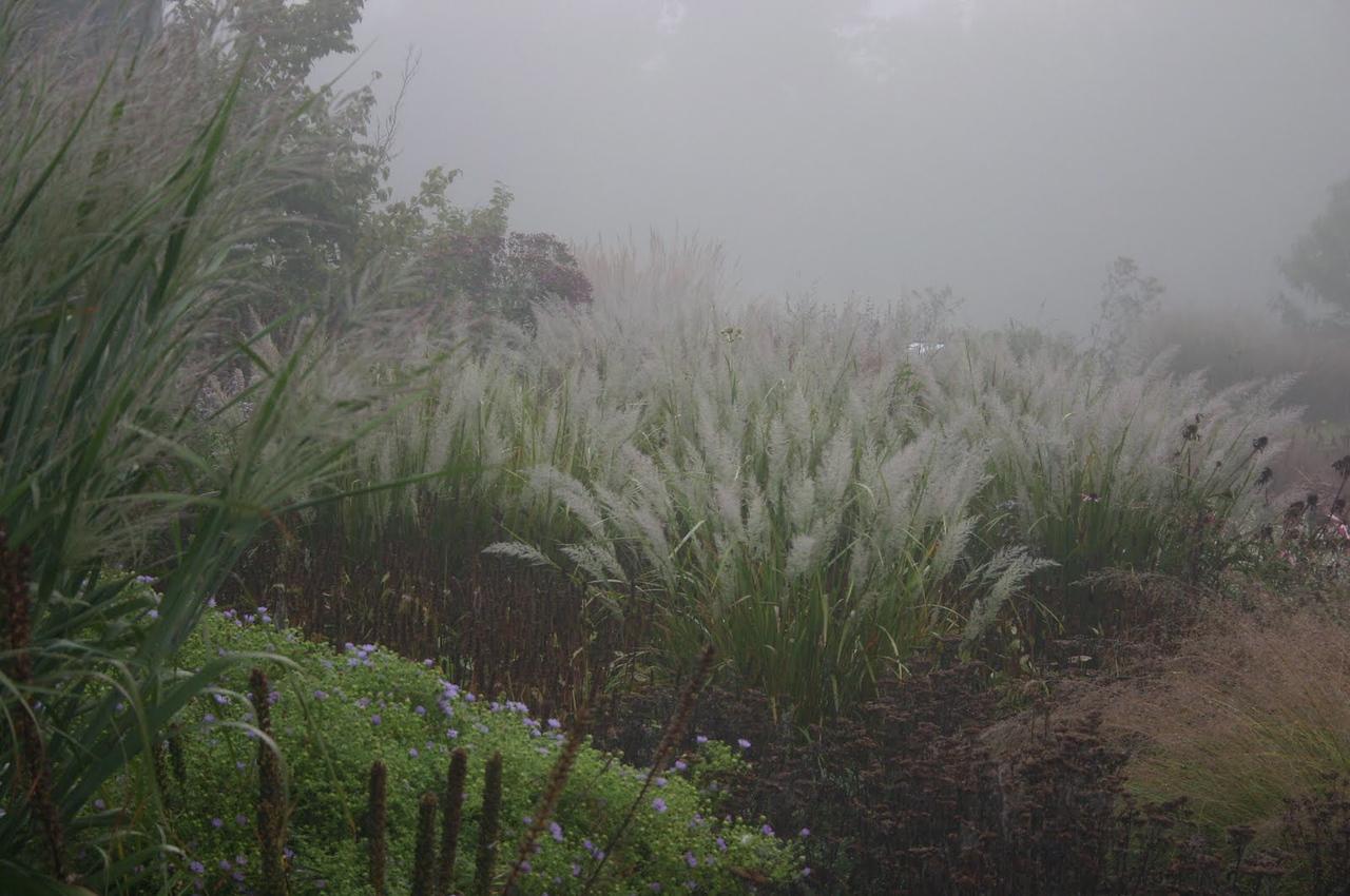 Korean reed grass 4