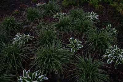 Carex Ice Dance Hosta Patriot