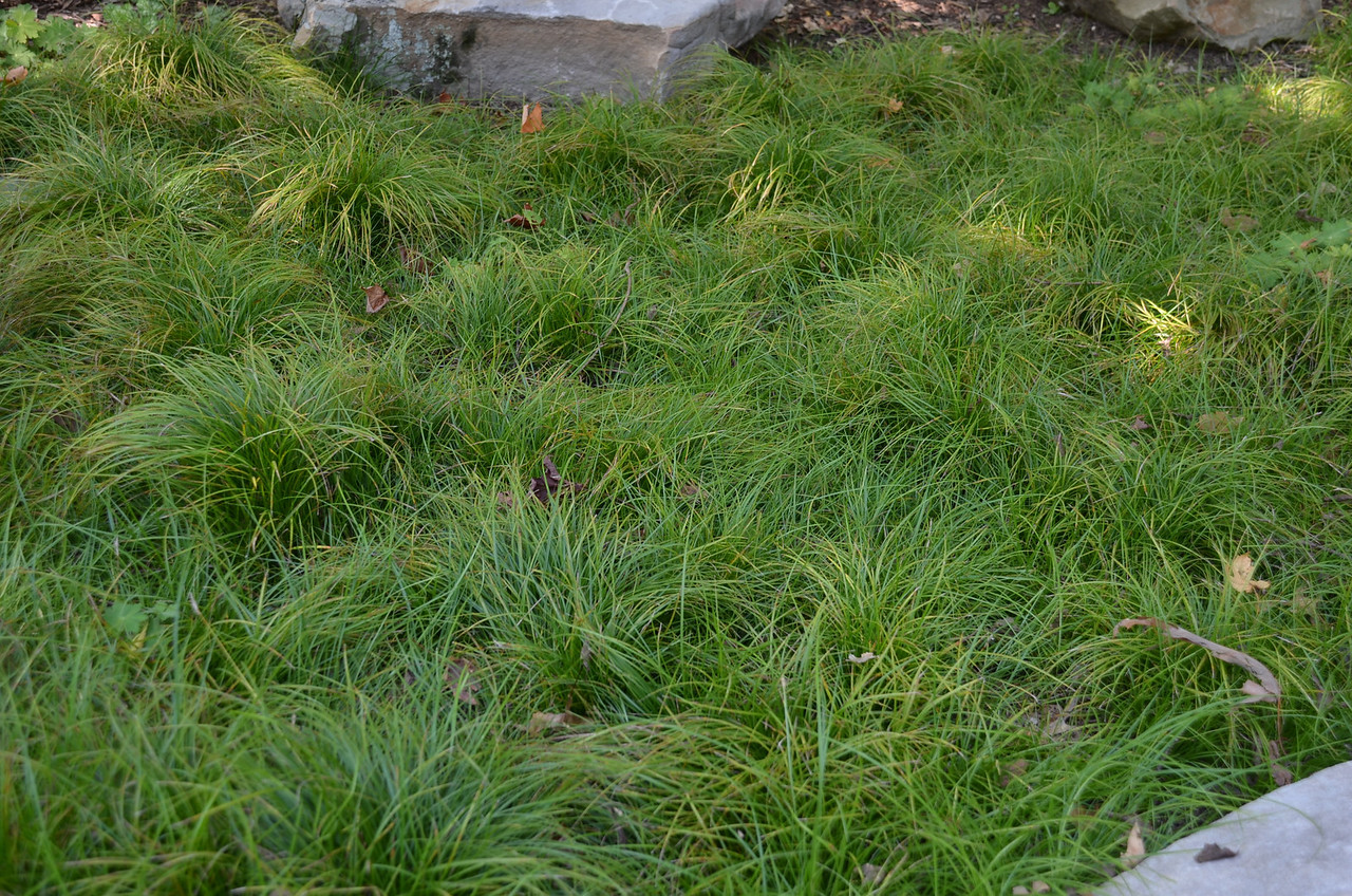 Carex pensylvanica 4