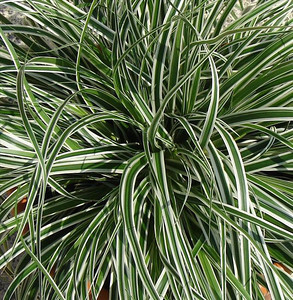 Carex oshimensis Everest 2